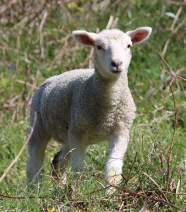 A Passover lamb